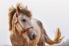 Close up head shot of white horse with beautiful rim light against white back Stock Photos