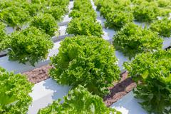 Green lettuce cultivation on hydroponic technology Stock Photos