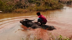 Boy washing an ox in small river in Myanmar Stock Footage