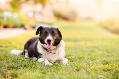 Happy dog lying in green grass with extending paws - stock photo