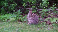 Rabbit, Hare, Bunny, Eastern cottontail  1.  - stock footage