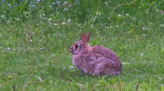 Rabbit, Hare, Bunny, Eastern cottontail  9  Stock Footage