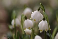 Snowflake flowers in a garden Stock Photos