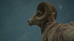 Bighorn sheep on mountain Stock Footage