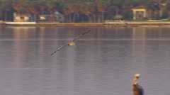 Pelican flying over lake and sitting on a rock Stock Footage