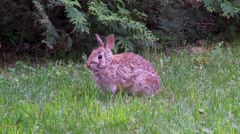 Rabbit, Hare, Bunny, Eastern cottontail 11  Stock Footage