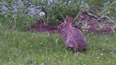 Rabbit, Hare, Bunny, Eastern cottontail  8  Stock Footage