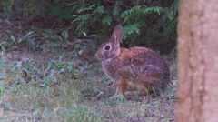 Rabbit, Hare, Bunny, Eastern cottontail  19  Stock Footage