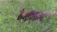 Rabbit, Hare, Bunny, Eastern cottontail  26  Stock Footage