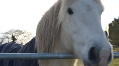 White Horse close up at sunset Beautifully Backlit by Late evening Sunshine - stock footage
