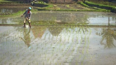 Balinese laborer planting rice in the standing water of a paddy - stock footage