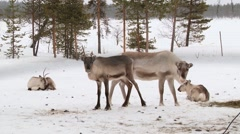Group of reindeers stand in the corral in winter in Nellim, Finland. - stock footage