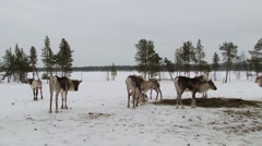 Group of reindeers feed in the corral in winter in Nellim, Finland. Stock Footage
