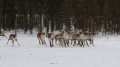 Group of reindeers run inside the corral in winter in Nellim, Finland. - stock footage