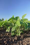 Agriculture, soybean plant - stock photo