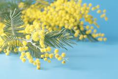 Spring yellow flower mimosa on blue plain background Stock Photos