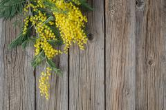 Yellow Mimosa bouquet on a rustic wood table - stock photo