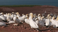 Northern Gannet 3 , Perce, Gaspe, Quebec, canada - stock footage