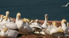 Northern Gannet 6 , Perce, Gaspe, Quebec, canada Stock Footage