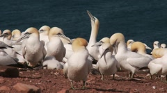 Northern Gannet 2 , Perce, Gaspe, Quebec, canada Stock Footage