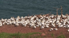 Northern Gannet 7. , Perce, Gaspe, Quebec, canada - stock footage