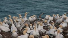 Northern Gannet 8 , Perce, Gaspe, Quebec, canada - stock footage