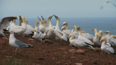 Northern Gannet 12. , Perce, Gaspe, Quebec, canada Stock Footage