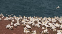 Northern Gannet 15 , Perce, Gaspe, Quebec, canada Stock Footage