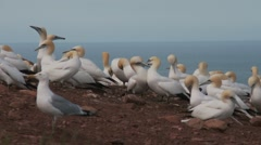 Northern Gannet 13 , Perce, Gaspe, Quebec, canada Stock Footage