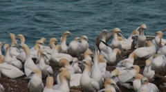 Northern Gannet 9.mp4 - stock footage