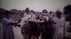 1973: Proud turban arab men cow ranchers middle eastern. Stock Footage