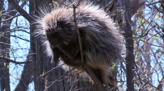 Porcupine animal, Canada Stock Footage