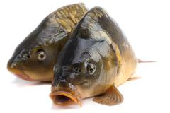 mirror carp - weighing 3 pounds of fish - stock photo