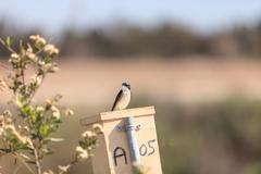 Blue Tree swallow bird - stock photo