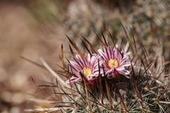 Stenocactus crispatus, Echinofossulocactus blooms Stock Photos