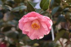 Camellia japonica pink flower blooms - stock photo