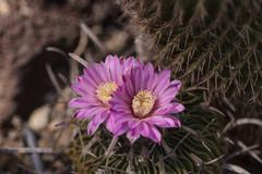 Stenocactus crispatus, Echinofossulocactus blooms - stock photo