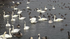 Waterbirds swimming at Lake Ontario - stock footage