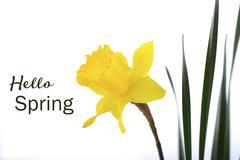 Springtime Yellow Daffodil. - stock photo