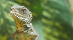 Chinese water dragon (Physignathus cocincinus) Stock Footage