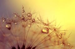 Dewy dandelion flower - stock photo