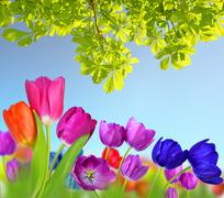 Colorful flowers tulip and branch of chestnut tree. Stock Photos