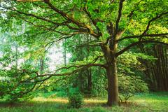 Canopy Of Tall Oak Tree. Sunny Deciduous Forest - stock photo