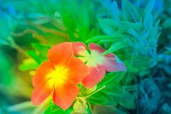 Fresh Cayenne jasmine flower in natural light. - stock photo