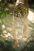 Closeup of a Siberian tiger also know as Amur tiger (Panthera tigris altaica) Stock Photos