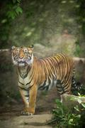 Closeup of a Siberian tiger also know as Amur tiger (Panthera tigris altaica) - stock photo