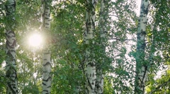 Bright afternoon in the forest, abstract environmental backgrounds with birch Stock Footage