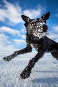 Hilarious black dog jumping for joy over a snowy field on a lovely winter day - stock photo
