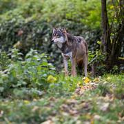 Gray/Eurasian wolf (Canis lupus) Kuvituskuvat