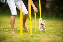 Cute little dog doing agility drill - running slalom, being obediend and maki Stock Photos